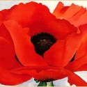 red_poppy_xx